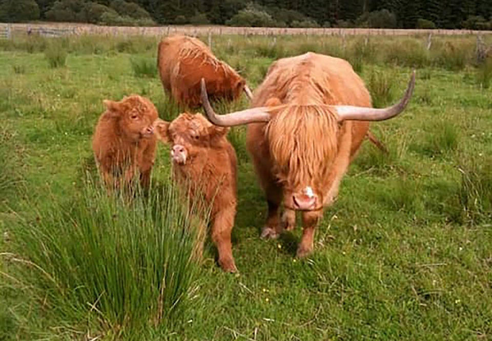 Mother and her twin calves
